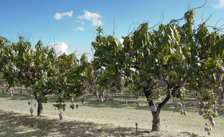 mango leaves: lots of large mangoes growing on  young trees