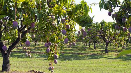 mango tree: a mango farm in Mareeba Australia Stock Photo
