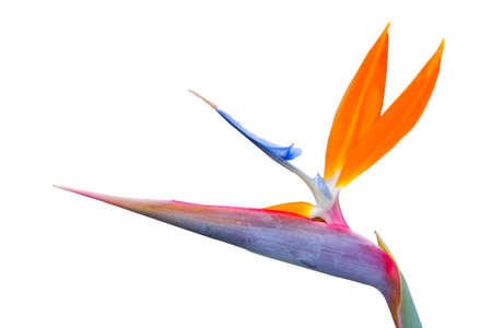 bird of paradise single flower on a white background