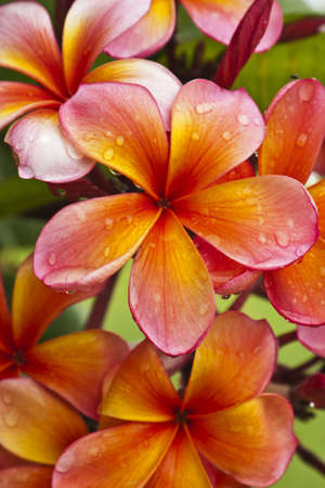 pink plumeria: a bunch of frangipani flowers