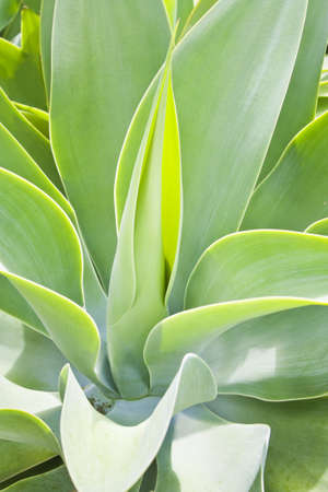 hardy: a young Agave attenuata  a hardy succulent Stock Photo