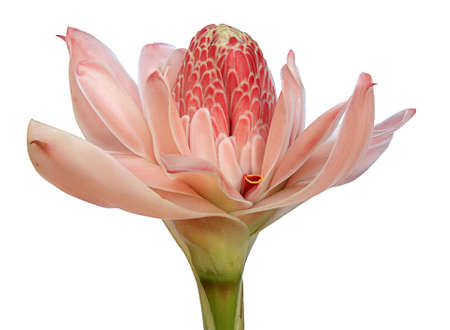 torch ginger flower on a white background