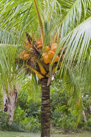 coconut tree dwarf Stock Photo - 13385229