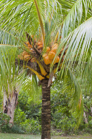 coconut tree dwarf Stock Photo - 13385229
