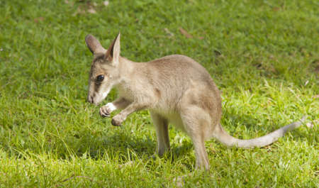 joey: a young joey kangaroo eating fresh grass Stock Photo