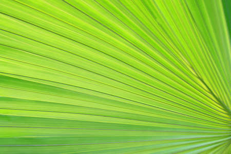 a large new green fan palm leaf Stock Photo - 13522099