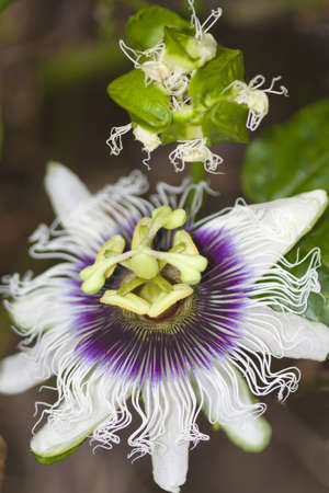 passion fruit: single open passion fruit flower and a single bud
