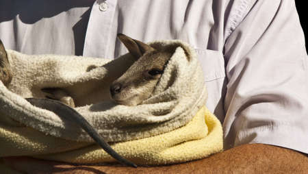 carers: a dedicated Wildlife Carer  caring for a young joey Stock Photo