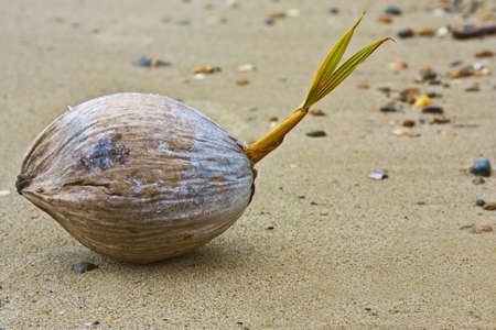 coconut seedlings: a young coconut sprouting on the beach Stock Photo