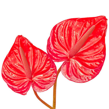 anthurium: two red flamingo plant with white background