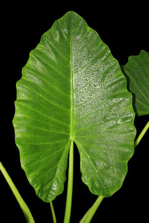 a large leaf isolated on a black background photo