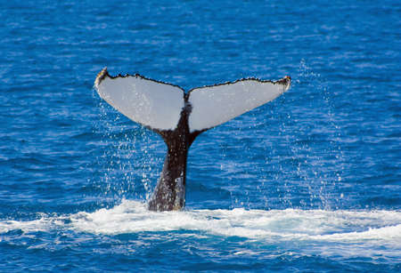 close up of a humpbacks tail lnear Hervey Bay Australia