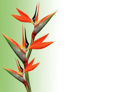 flores exoticas: ave del paraíso de las flores Foto de archivo