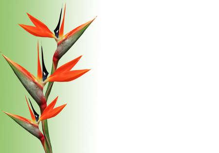 chim thiên đường hoa