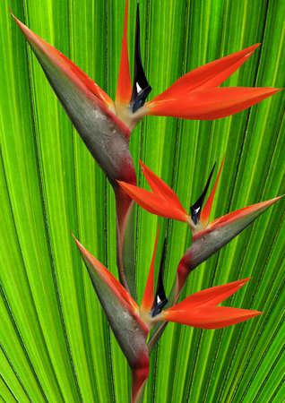 ave del paraiso: un hermoso pájaro de la flor del paraíso en un fondo verde, palmito Foto de archivo