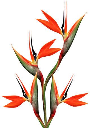 flores exoticas: ramo de flores ave del para�so sobre un fondo blanco