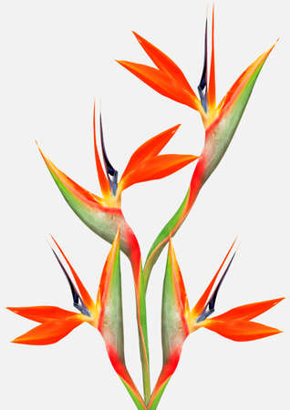 crane bird: bouquet of flowers bird of paradise on a white background Stock Photo