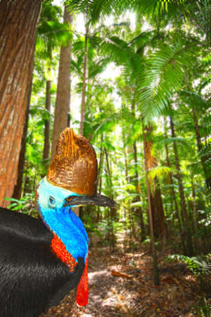 wingless: One Australian flightless cassowary in the rainforest Stock Photo