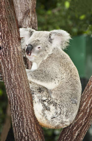 downunder: a cute young koala sitting in a tree Stock Photo