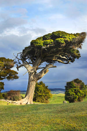 wind swept tree on the south Island of New Zealand photo