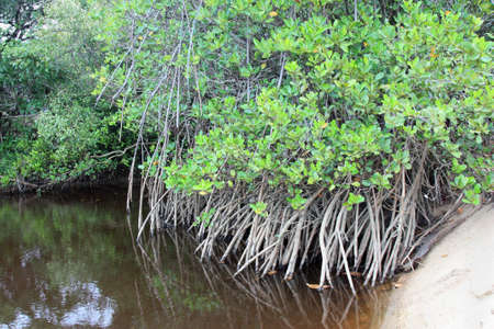 murky: mangroves on the beach and murky water Stock Photo