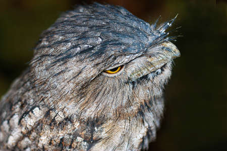 roosting: one close up of a  tawny frogmouth