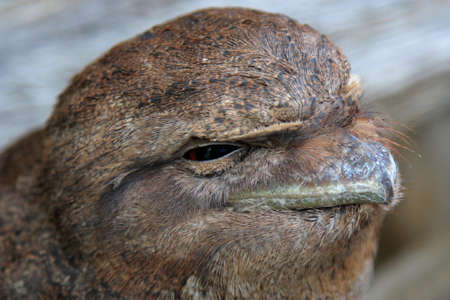 roosting: one sleepy brown tawny frogmouth