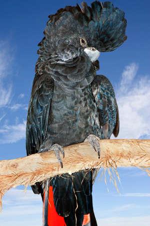 ebony tree: beautiful black cockatoo with a sky  Stock Photo