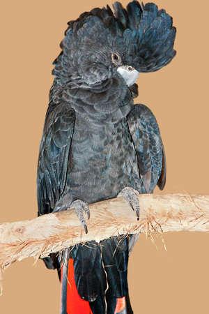 ebony tree: beautiful black cockatoo perched on a branch Stock Photo