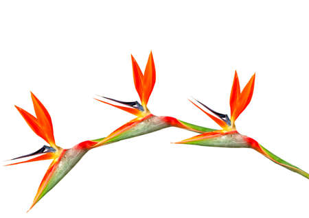 bloom bird of paradise: bird of paradise flowers arching on a white background HDR Stock Photo