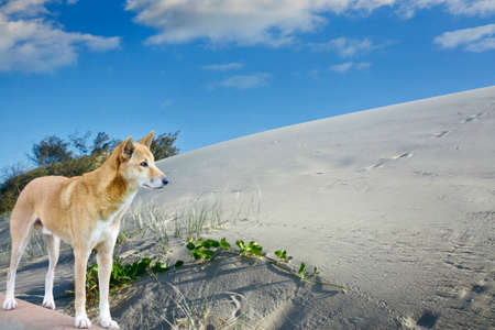 fraser island: sand dunes and dingo n fraser island  in Australia