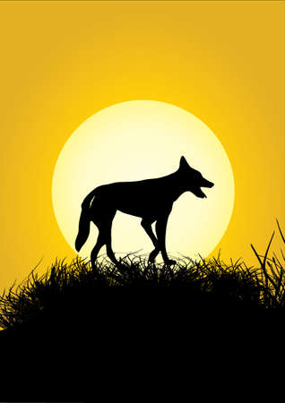 dingo: one dingo on a grassy hill in the sunset Illustration