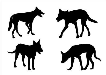 dingo: a set of four australian dingo on white background