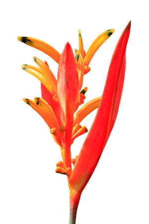 heliconia: Tropical flower Heliconia on a white background Stock Photo