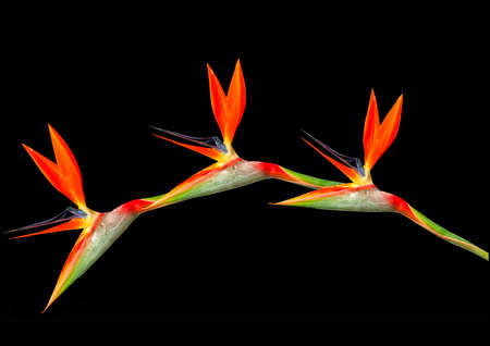 arching: bird of paradise flowers arching on ablack background