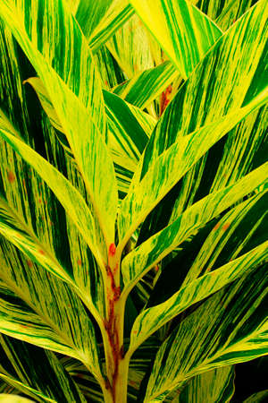elongated: elongated yellow and green striped leaves of shell ginger