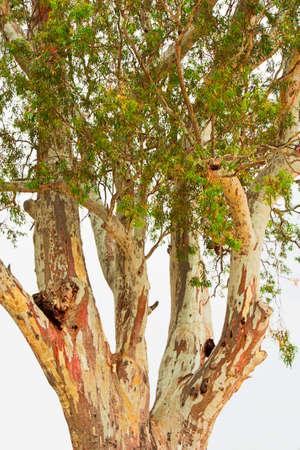 eucalyptus trees: the beautifully colored bark of a paper bark tree, Melaleuca