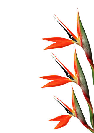bloom bird of paradise: three bird of paradise flower on side of page on a white background Stock Photo