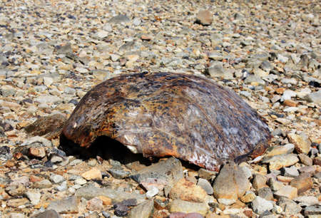 thursday: turtle shell found on beach on Thursday Island  Torres Straits Australia Stock Photo