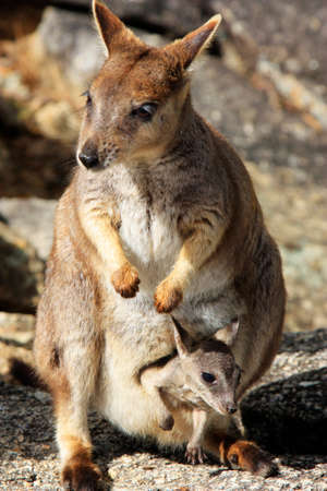 Mother wallaby and baby joey in her pouch at Granite Gorge Mareeba