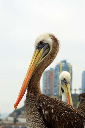 foreshore: pelican on the foreshore of Valparaiso Chile South America Stock Photo
