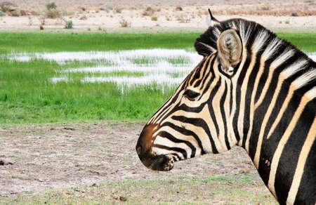 close up view: one zebra close up view of head