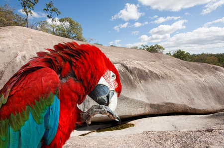 roost: a beautiful red Macaw bird