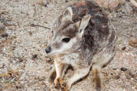 joey: a rock wallaby playful joey