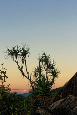 peacefull: pandanus trees in the sunset in the golden hour