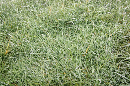 icy: icy grass in New Zealand during winter
