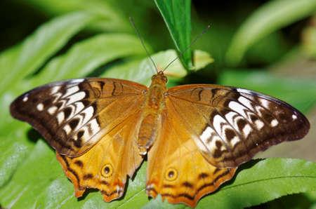 plexippus: Danaus plexippus or Monarch butterfly also known as milkweed, common tiger, wanderer Stock Photo