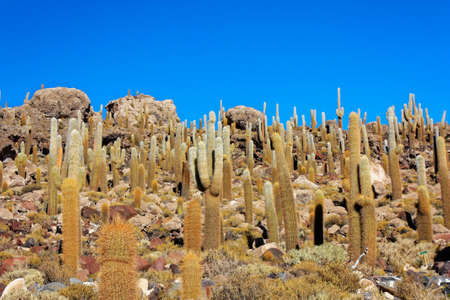 incahuasi: Incahuasi Island or Cactus Island is populated with hundreds of cacti