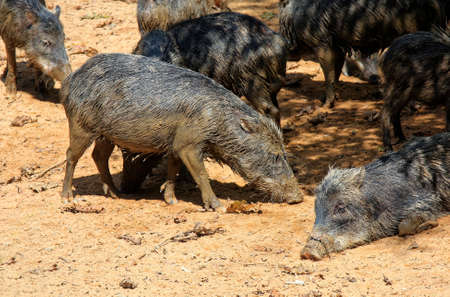 rooting: mob of wild smelly pigs in the Amazon jungle