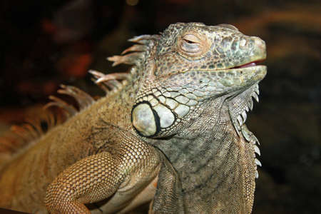 bearded dragon lizard: Eastern Bearded Dragons are native to Australia Stock Photo